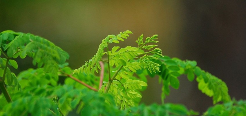 Moringa, bylina třetího tisíciletí. Poznejte její zázračné účinky