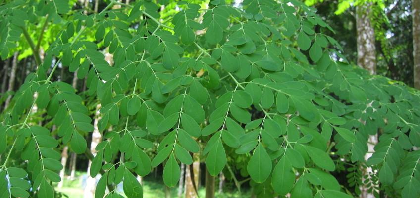 Zázračná moringa obsahuje více než 100 % doporučené denní dávky důležitých živin
